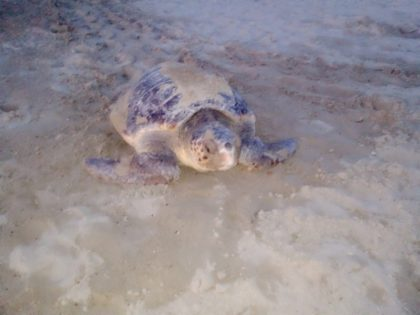 Una tartaruga Caretta Caretta ha nidificato a Baia Flaminia: si cercano volontari per presidiare l'area